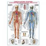 Puzzle  Eurographics-6000-4940 Système Circulatoire