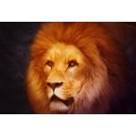 Puzzle  Grafika-Kids-00954 Pièces XXL - Lion