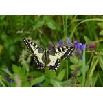 Puzzle  Grafika-Kids-01222 Papillon
