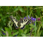Puzzle  Grafika-Kids-01224 Papillon