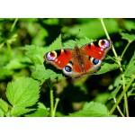 Puzzle  Grafika-Kids-01226 Papillon