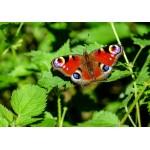 Puzzle  Grafika-Kids-01227 Papillon