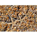 Puzzle  Grafika-Kids-01233 Coquillages et Etoiles de Mer