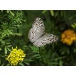 Puzzle  Grafika-Kids-01235 Papillon