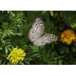 Puzzle  Grafika-Kids-01238 Papillon