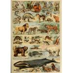 Puzzle  Grafika-00597 Illustrations du Larousse pour Tous : Mammifères , XIXè Siècle
