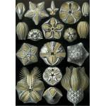 Puzzle  Grafika-00620 Ernst Haeckel : Les Blastoidea , 1904
