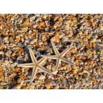 Puzzle  Grafika-01687 Coquillages et Etoiles de Mer