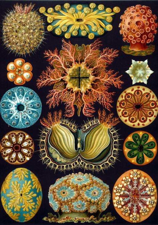 Puzzle Ernst Haeckel : Les Ascidies , 1904 Grafika