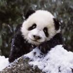 Puzzle  Ravensburger-15236 Bébé Panda